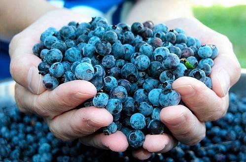 Голубика и черника: в чем разница, как отличаются ягоды