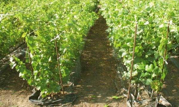 Посадка винограда в беларуси