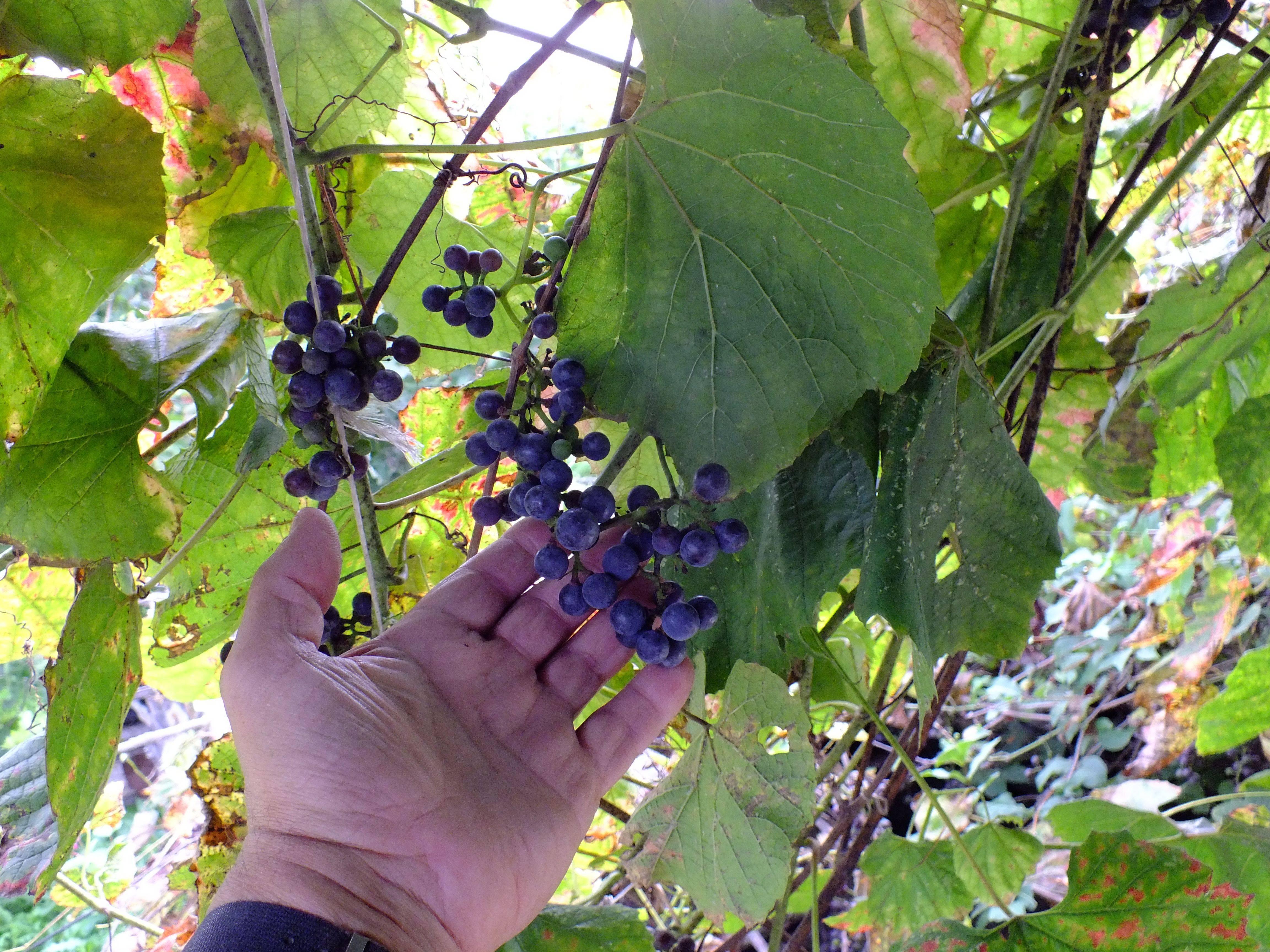Амурский виноград: описание сорта, правила посадки и ухода