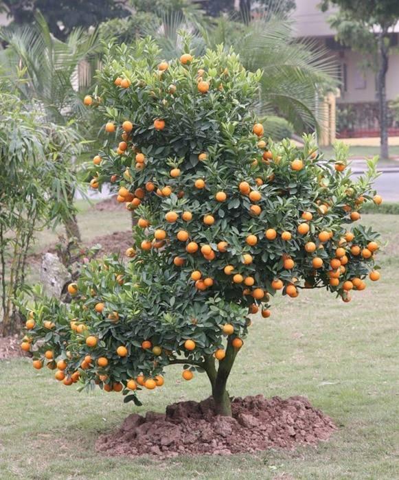 Как ухаживать за комнатным мандарином: главные секреты. мандарин: посадка, выращивание, уход и размножение в домашних условиях подкармливать мандариновое дерево