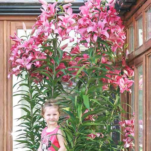 Как посадить лилию в открытый грунт, уход после цветения, размножение, болезни