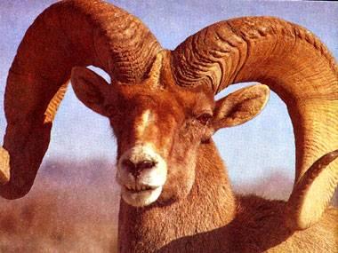 Разведение овец на мясо в домашних условиях для начинающих