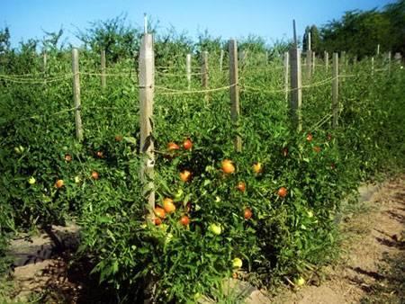 6 необычных способов выращивания томатов от наших читателей