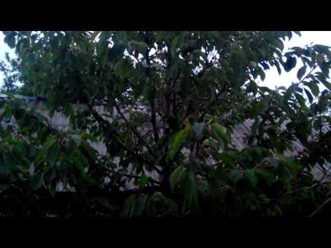 Как избавится от тли на плодовых деревьях