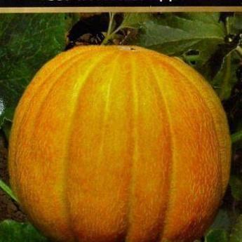"""Сорт дыни """"эфиопка"""": описание, особенности выращивания, урожайность и отзывы"""
