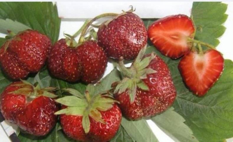 О самых хороших сортах клубники для выращивания на урале в открытом грунте