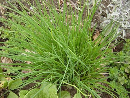 Лук – растение с острым вкусом: описание, виды, весенняя посадка в открытом грунте и уход за ним (фото & видео)+отзывы