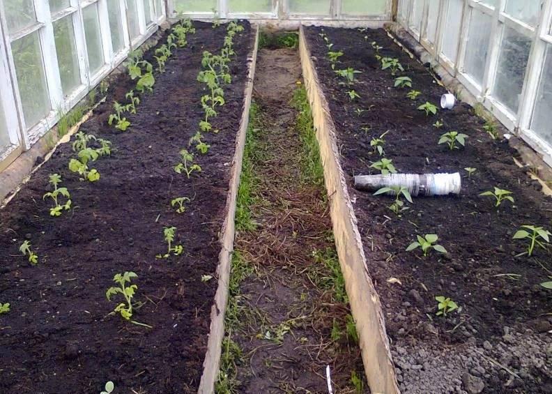 Основные удобрения при сезонной посадке помидор в теплицу