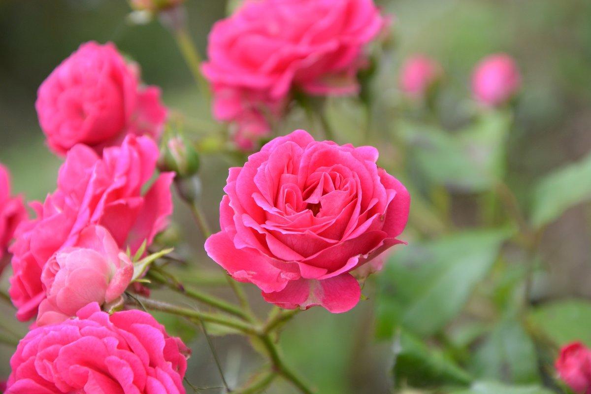 Пересадка роз на новое место