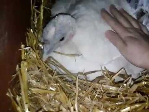 Сколько дней индюшки сидят на яйцах