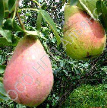"Груша ""лира"": фото и описание сорта, агротехнические характеристики"