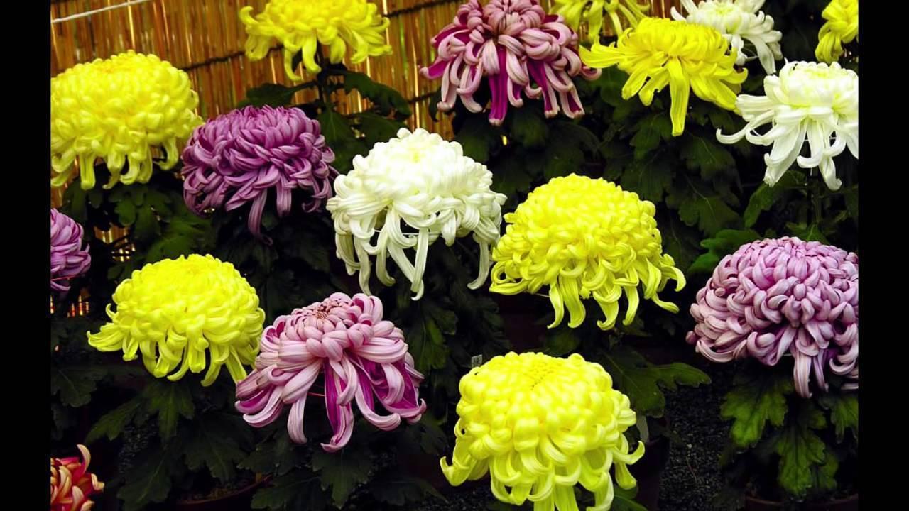 Неприхотливые корейские хризантемы: яркие акценты в осеннем саду