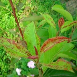 Способы лечения груши от вредителей и болезней