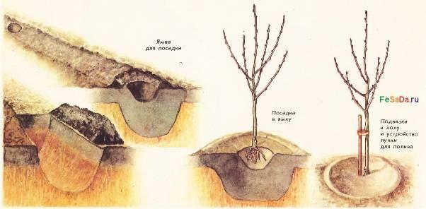 Все о том, как размножить яблоню: выбор технологии и особенности
