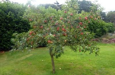 Ботаническое описание и особенности выращивания на участке яблони сорта кутузовец
