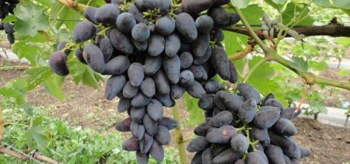 Отзывы о винограде «викинг»: фото и описание сорта