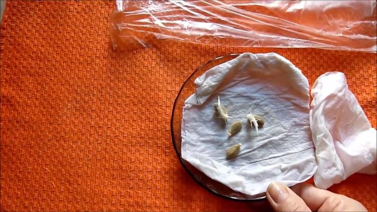 Как прорастить семена: способы в домашних условиях