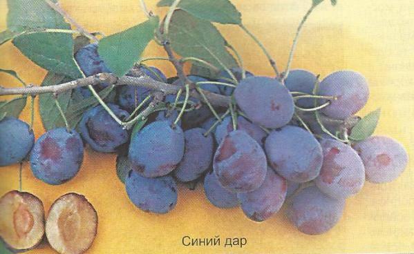 О сливе Синий Дар: описание сорта, агротехника выращивания, особенности ухода