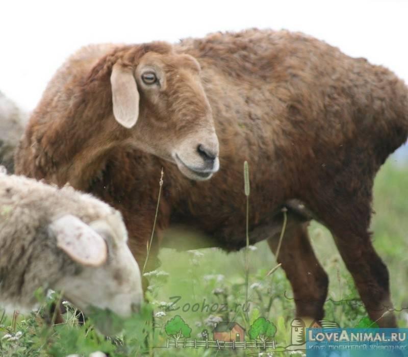 Эдильбаевская овца – одна из самых продуктивных пород