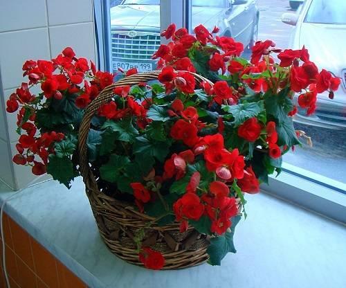Как ухаживать за цветком бегония в домашних условиях