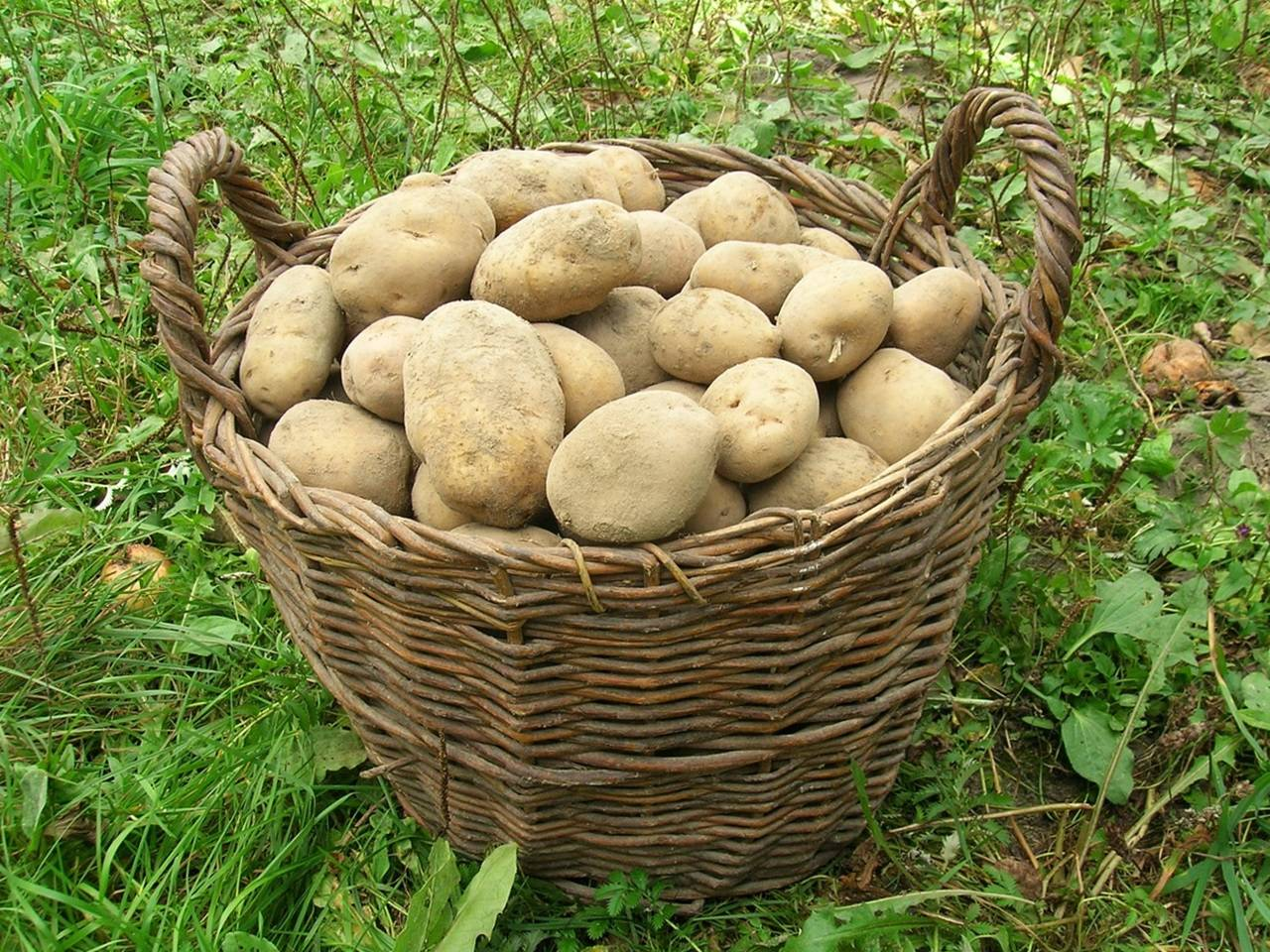 Скарб — картофель белоруской селекции