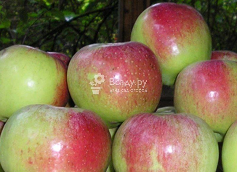 Лучшие зимние сорта яблок, хранящиеся до весны