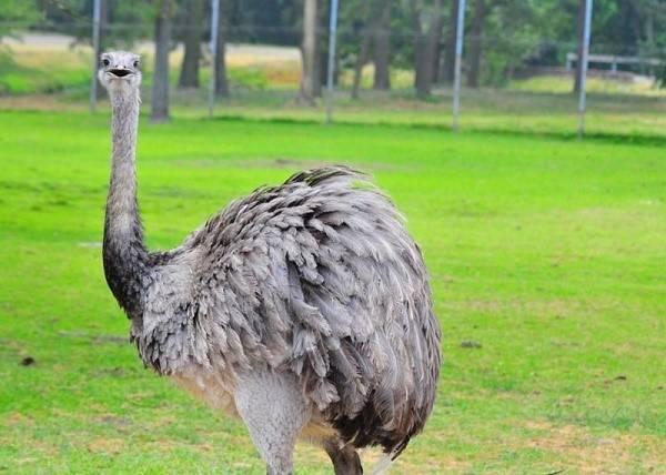 Страус эму: описание птицы, содержание и уход, кормление