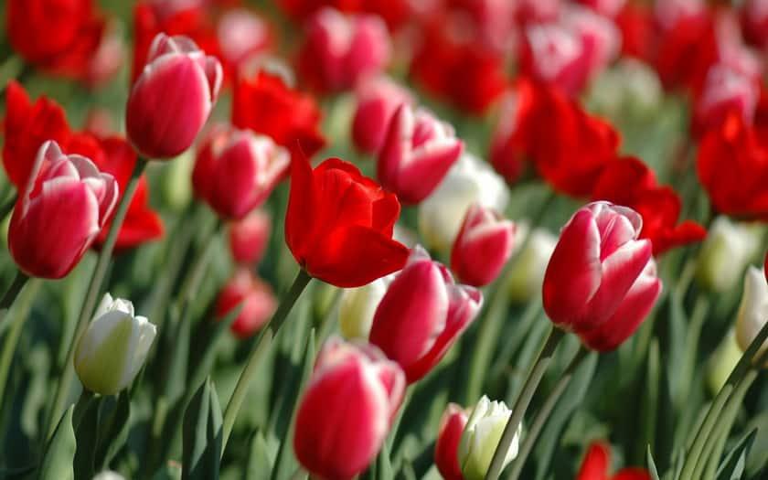 Тюльпаны после цветения: что дальше с ними делать (уход в открытом грунте)