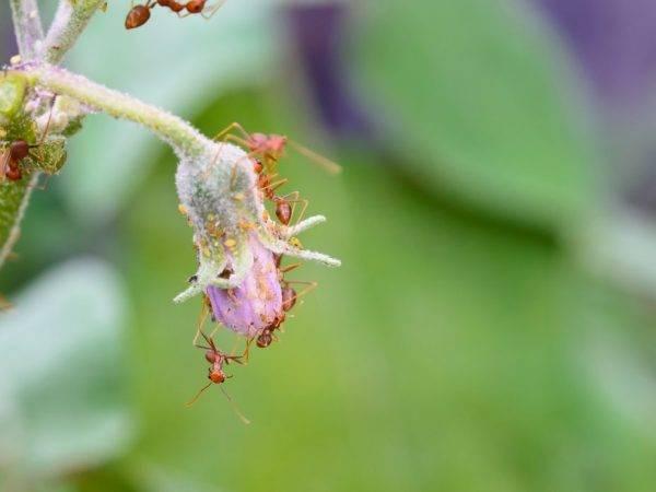Борьба с вредителями баклажанных грядок