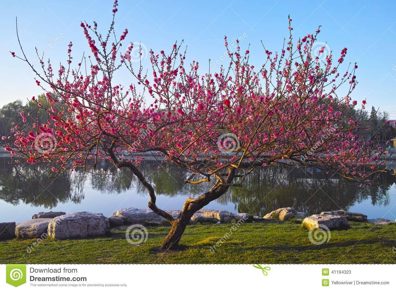 Как правильно посадить персик весной - видео | посадка персика из косточки, саженцем