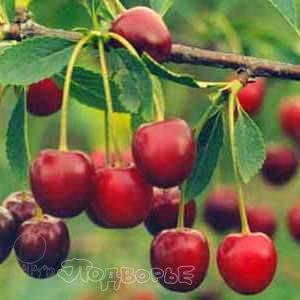 Вишня — все о культуре: описание, сорта, выращивание