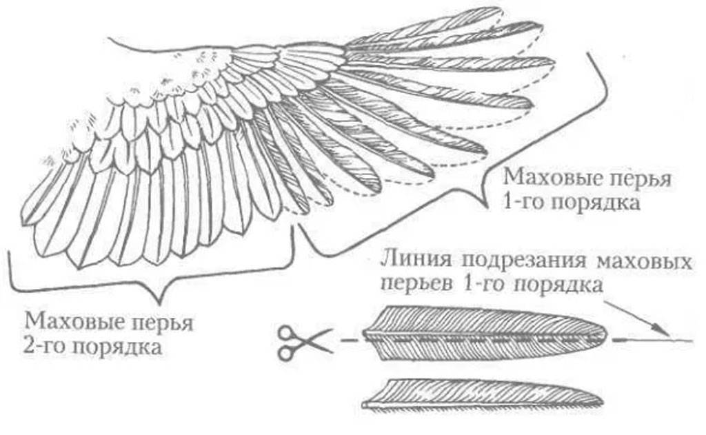 Индюки летают: способны ли и что делать, чтоб не летали