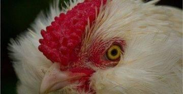 Кандидоз у птиц: что за болезнь, отчего возникает, лечение и профилактика
