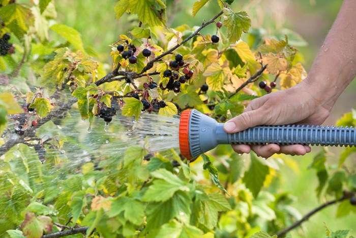 Эффективные народные средства от болезней и вредителей смородины и крыжовника