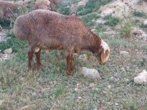 Курдючные овцы: сколько весит баран в среднем