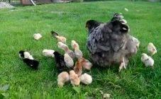 Как вырастить цыплят