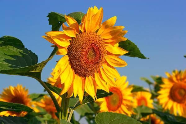 Декоративный подсолнух: фото, посев, способ выращивания