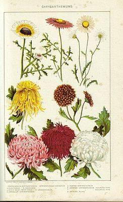 Однолетняя хризантема: описание, сорта, посадка и уход