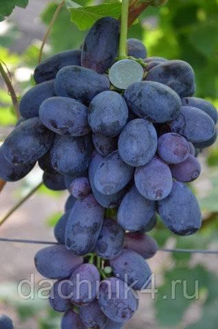 Виноград галбена ноу характеристика и описание сорта посадка