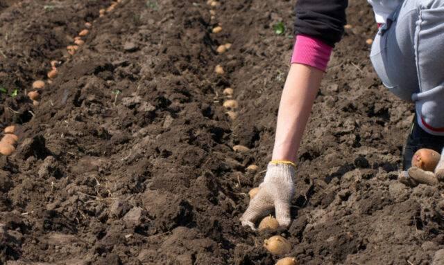 Посадочные дни для картофеля по луне на 2020 год для подмосковья