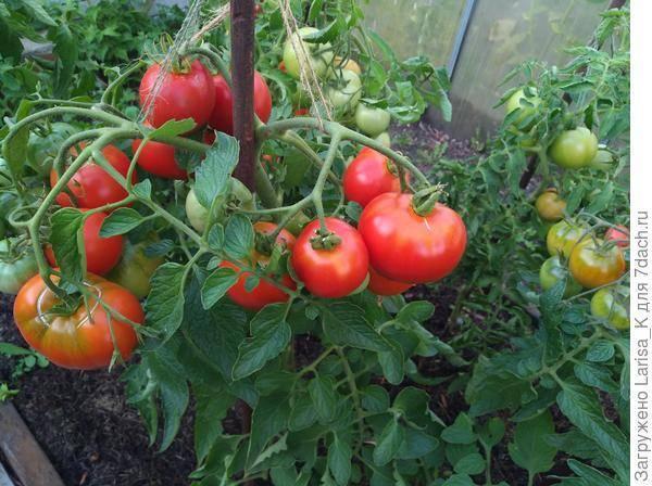 Томат пузата хата: урожай выше крыши