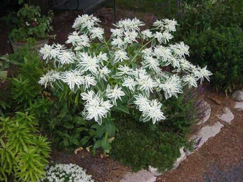 Богатая невеста цветок выращивание из семян