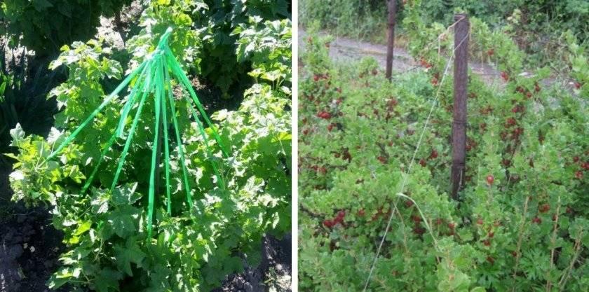 С чем рядом посадить крыжовник в своем саду