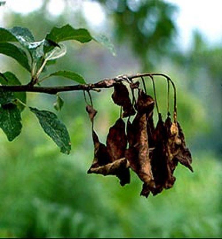 Лечение бактериального ожога плодовых деревьев, культур