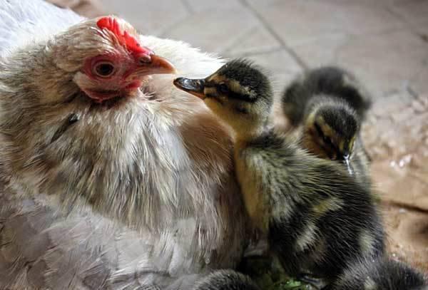 Совместное содержание уток, кур и гусей - возможно ли?