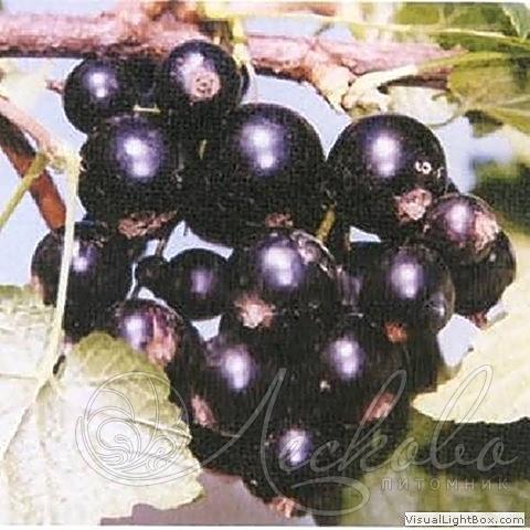 """Черная смородина """"гулливер"""": особенности ухода и размножения"""