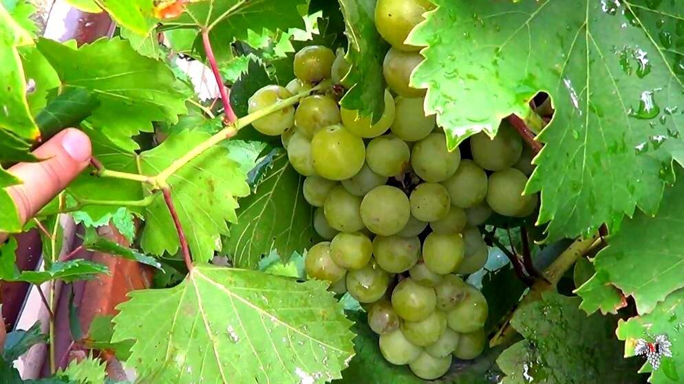 Описание винограда галбена ноу или золотинка — особенности выращивания
