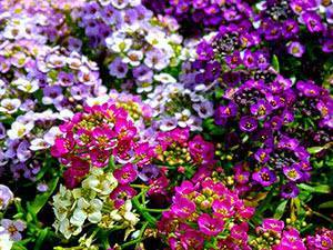 Многолетние цветы для дачи и сада