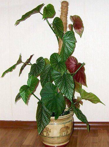 Декоративно-лиственная бегония - 30 популярных видов и сортов с фото и названиями