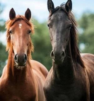 Организация размножения лошадей